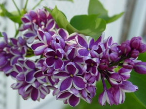 How I love my lilacs!