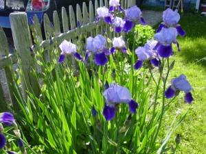 A good year to be an iris